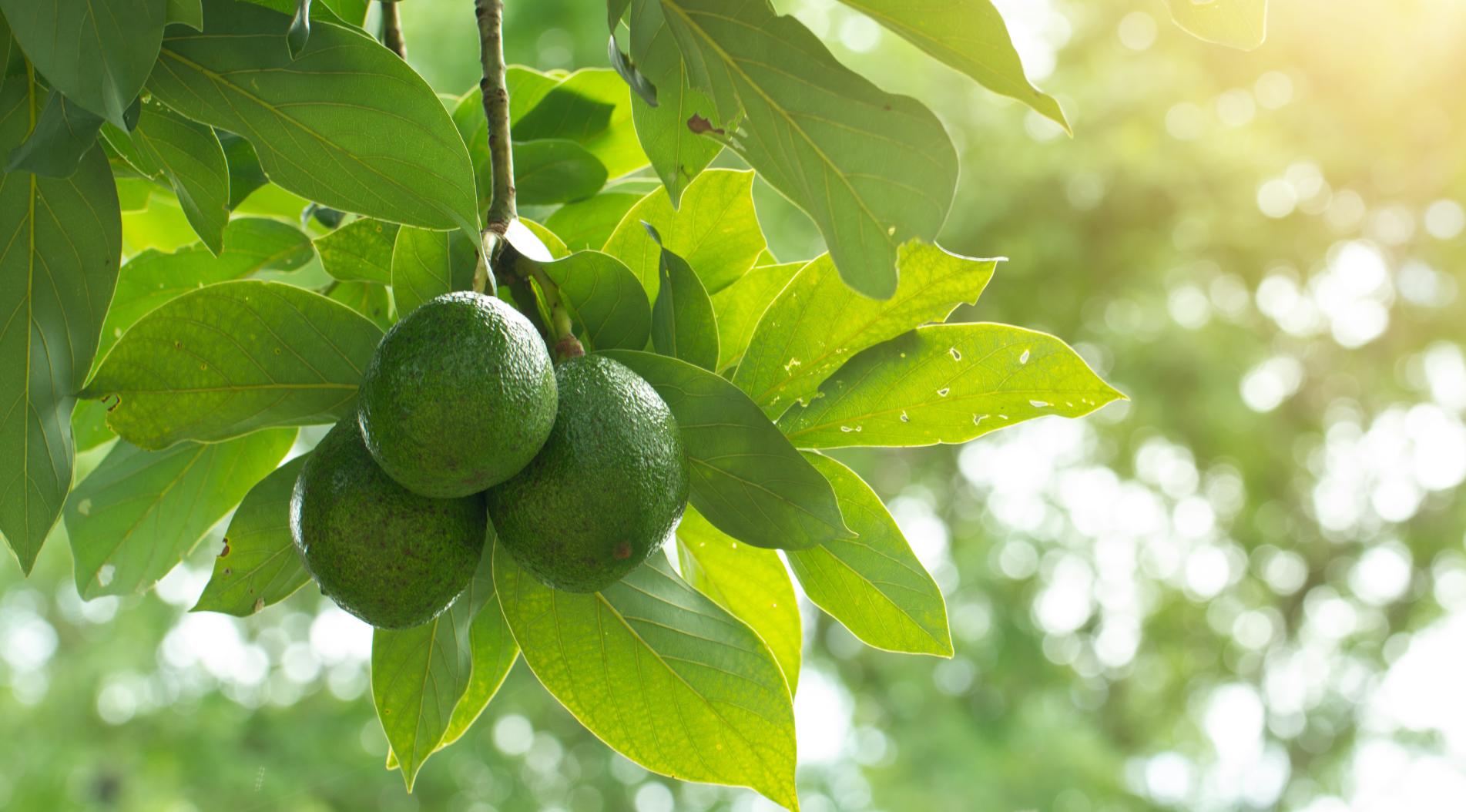 Guacamole importeur